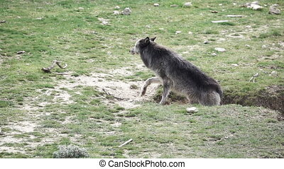Canadian wolf going up in the ground - Long shot of Canadian...