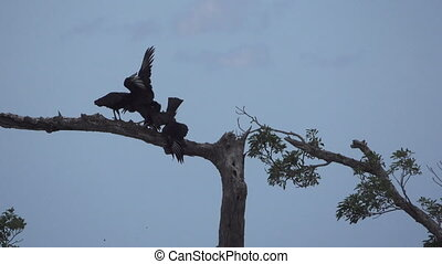 Long shot of Flock of Black Vultures (Coragyps atratus)...