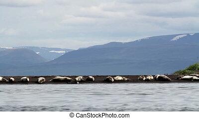 Flock of seals