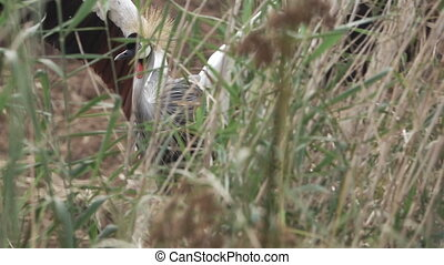 Grey Crowned Crane (Balearica regulorum) behind bush in...