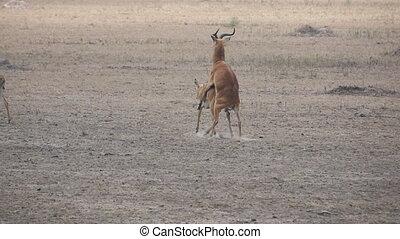 Uganda kobus sexual reproduction in super slow motion - Long...