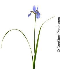 long stem blue iris isolated on white