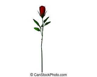Isolated long stem rose