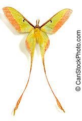 long tail luna moth isolated in white background.