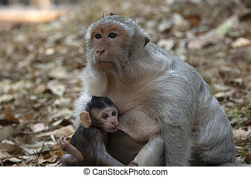 Long Tail Macaque baby drinking milk from his mother.