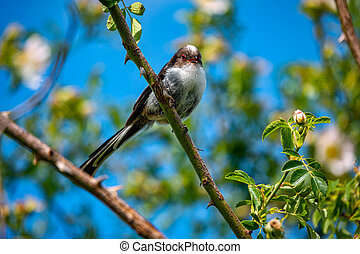 Long-tailed bird sitting on the branch in the nature habitat, Aegithalos caudatus