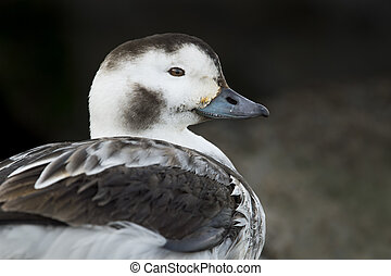 Long-tailed Duck Hen