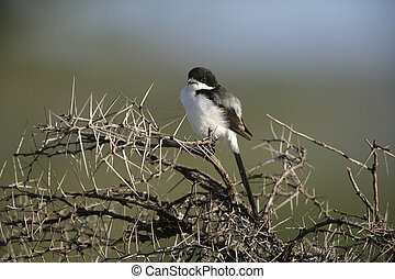 Long-tailed fiscal shrike, Lanius cabanisi, single bird on...