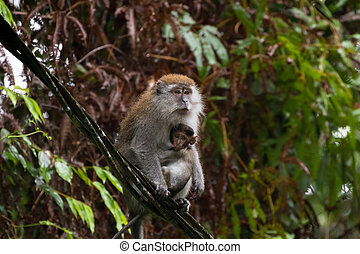 Long-tailed Macaque (Crab-eating macaque) breastfeeding a baby sitting on cable at Fraser's hill, Malaysia