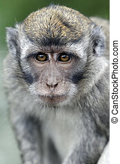 Long-tailed macaque, Macaca fascicularis, single monkey on ...