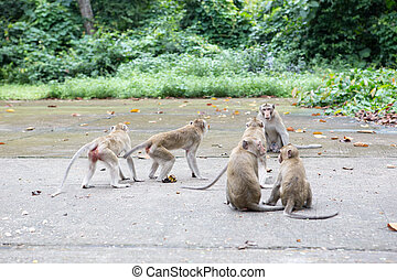 Long-tailed macaque, monkey