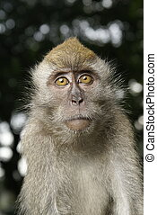 Long tailed macaque portrait