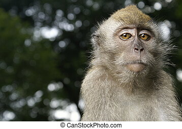 Long tailed macaque portrait with wary expression.