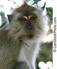 Long-tailed Macaque, Taman Negara, Malaysia