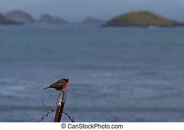 Long-tailed Meadowlark (sturnella falklandica loyca) on the ...