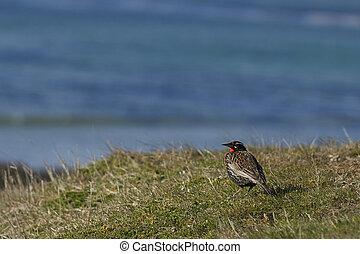 Long-tailed Meadowlark (Sturnella loyca falklandica) on the ...