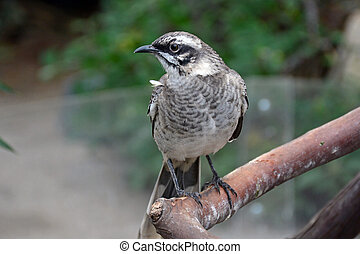 Long-tailed mockingbird sitting on branch