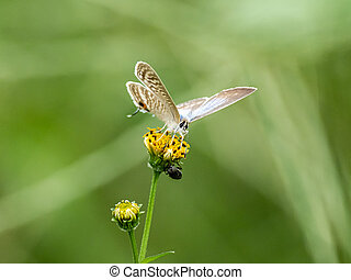 long tailed pea blue butterfly on yellow flower 2