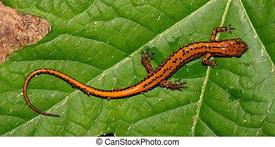 Long-tailed Salamander - Alabama