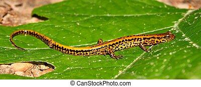 Long-tailed Salamander