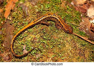 Long-tailed Salamander (Eurycea longicauda) - Mississippi