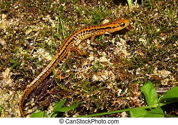 Long-tailed Salamander (Eurycea longicauda) near Cane Creek...