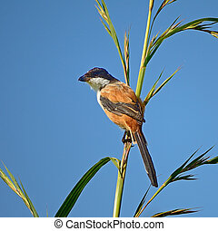 Long-tailed Shrike (Lanius schach), standing on the grass ...
