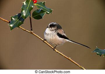 Long tailed tit, Aegithalos caudatus, On holly, Midlands, ...