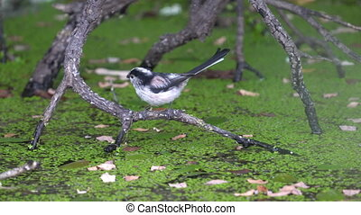 Long-tailed tit drinking water and flying out - Closeup of ...