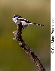 Long Tailed Tit - Long Tailed Ti ( Aegithalos caudatus) ...
