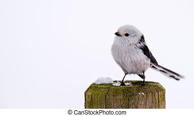 Long-tailed tit on the pole