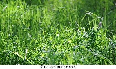 Long Uncut Grass Blowing in Wind