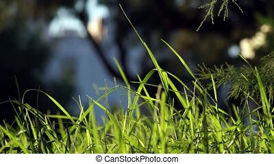 Long uncut green grass blowing in the wind dark background