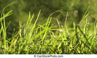 Long uncut green grass blowing in the wind light background...