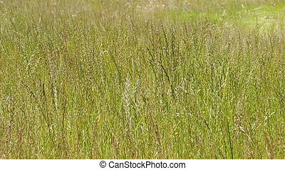 Long Uncut Wheat Grass Field