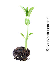 Long young othalanga sprout seed and leaf on white background.