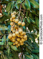 Longan on the tree
