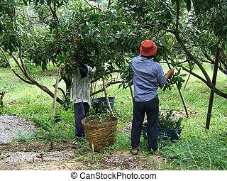 Men working in a longan plantation in Thailand