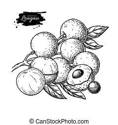 Longan vector drawing. Hand drawn tropical fruit illustration. Engraved summer fruit.