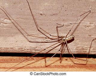 Longbodied Cellar Spider