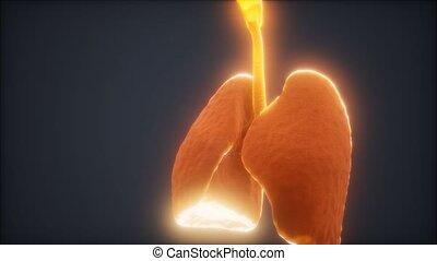 longen, 3d animatie, menselijk