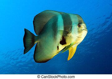 longfin, batfish