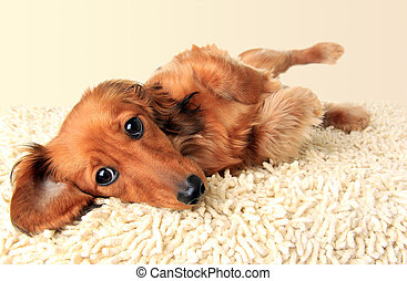 Longhair dachshund puppy lying down on the carpet.