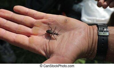 Longhorn beetle crawling - Ground beetle Carabus ullrichi ...