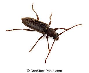 Longhorn beetle - Longhorned beetle ( Trichoferus campestris...