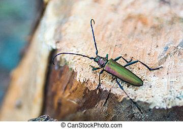 Longhorn beetle on pine-tree stump