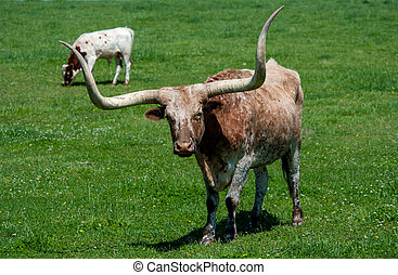 Longhorn cattle on pasture at ranch