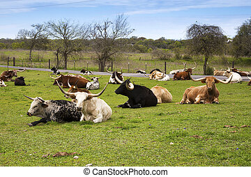 Longhorn Cattle Resting in a Green Pasture