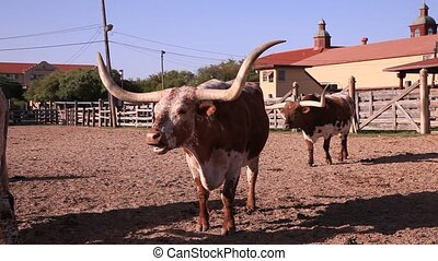 Longhorn cattles at a ranch in Texas, United States