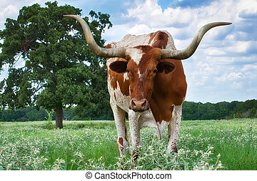 longhorn, closeup, texas
